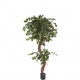 Ficus potted 120cm height, green